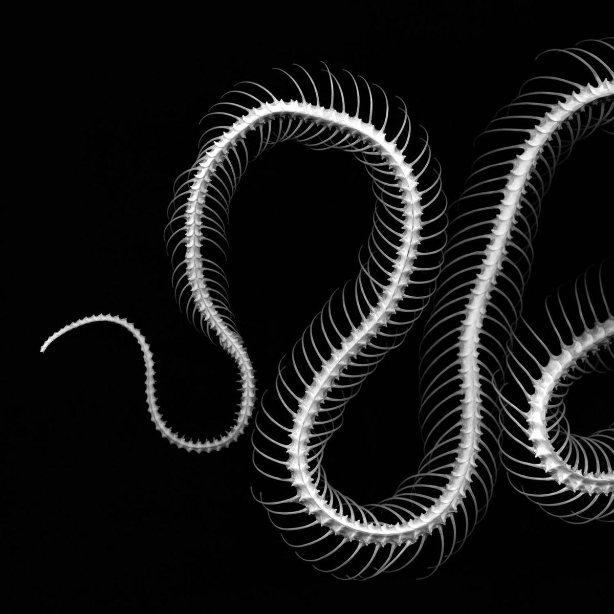 Cobra.I/II/III (triptych)© 2011. (First image.) Each size: 20 x 20 in. Each image on 30 x 36 paper. Carbon pigment print.