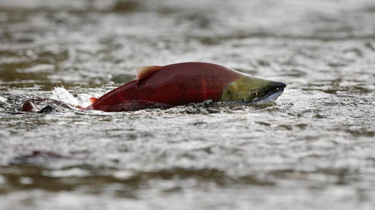 A sockeye salmon scurries through shallow water.