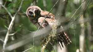 Barred owl. AP