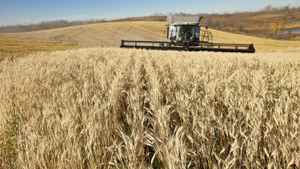 Third-generation farmer Alan Zweifel combines his 3,400 acres of wheat, barley, and canola crops in central Alberta.