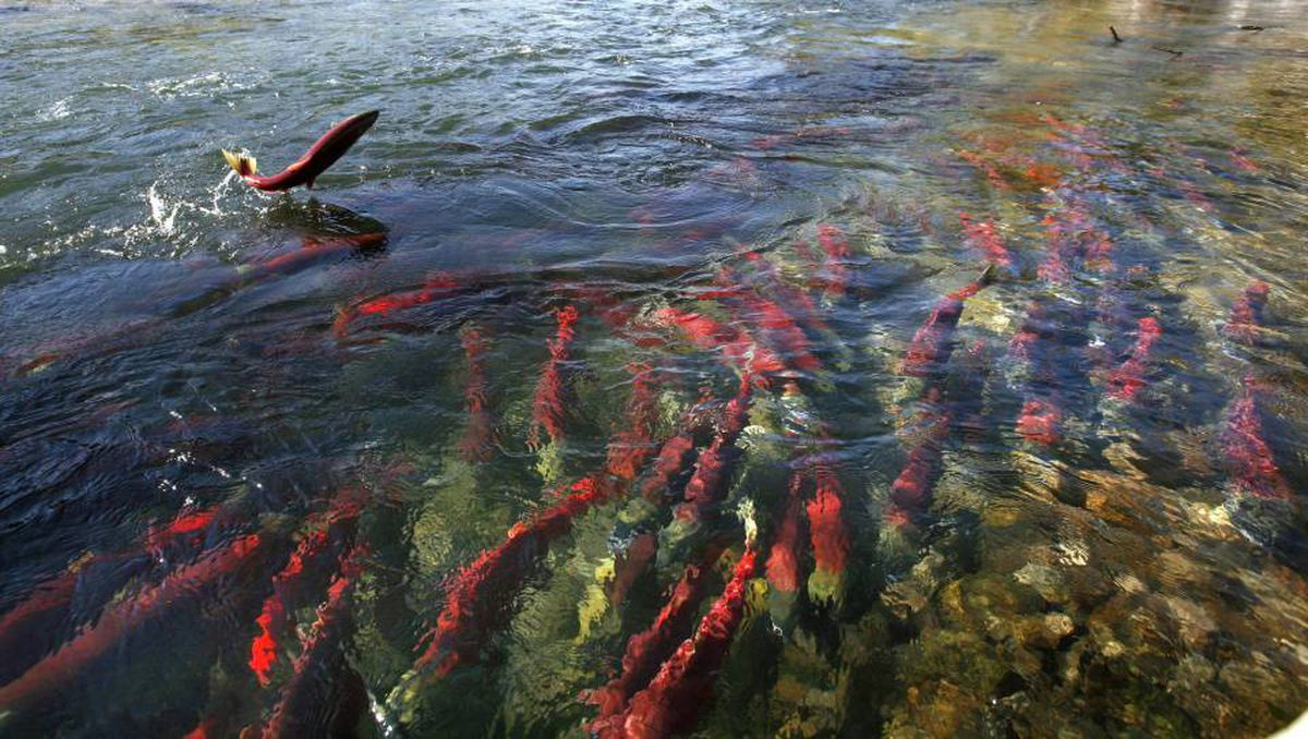 A sockeye salmon jumps out of the water while others gather in the shallows of the Adams River near Chase, British Columbia northeast of Vancouver October 11, 2006.