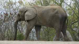 Thika, one of the Toronto Zoo's three elephants that will be transported.
