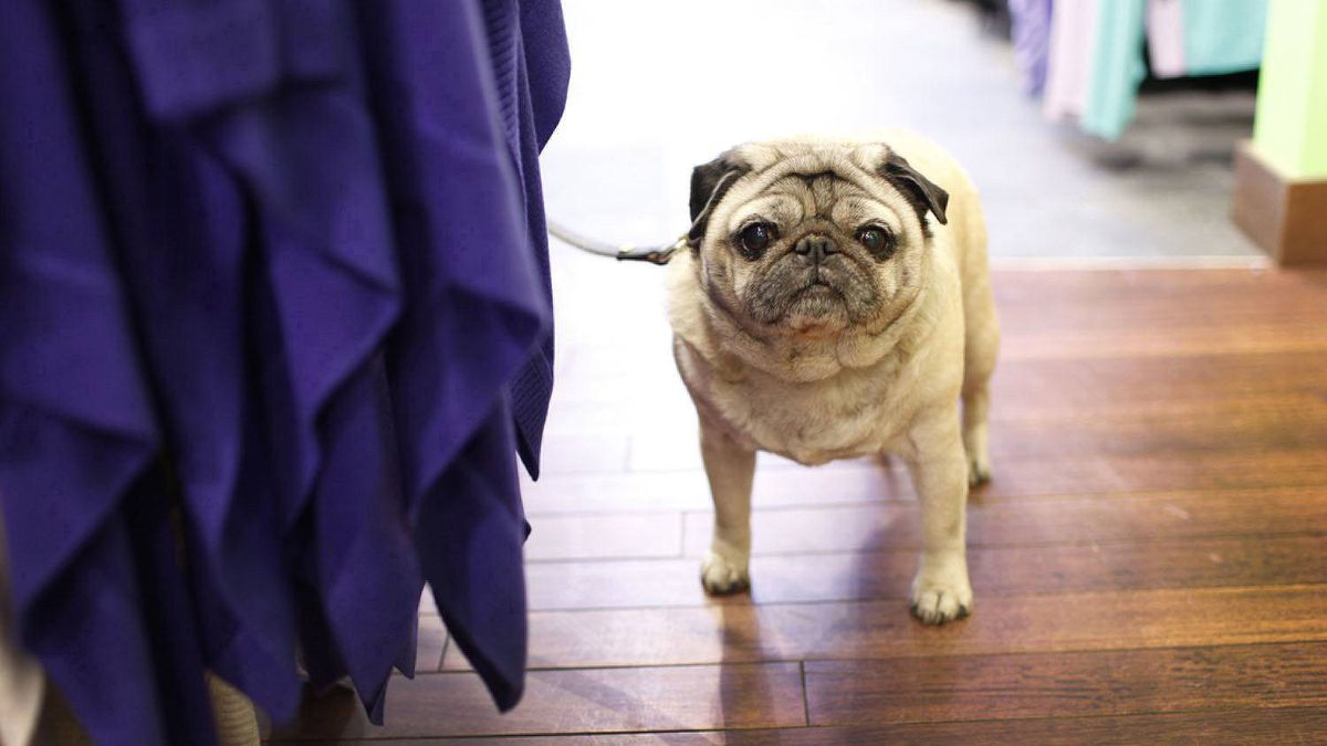 A pug waits for its owner at Lululemon's Yorkville location in Toronto.