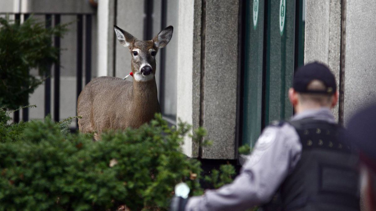 With the help of a veterinarian from the Toronto Zoo, Toronto Police officers hold a female deer that ventured into downtown. The animal was shot with a tranquilizer, then tasered as it tried to flee near Dundas and University.