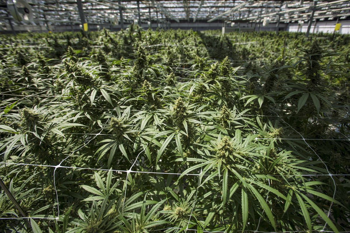 Former CannTrust executives, director charged in 2019 cannabis growing scheme at Ontario facility - The Globe and Mail
