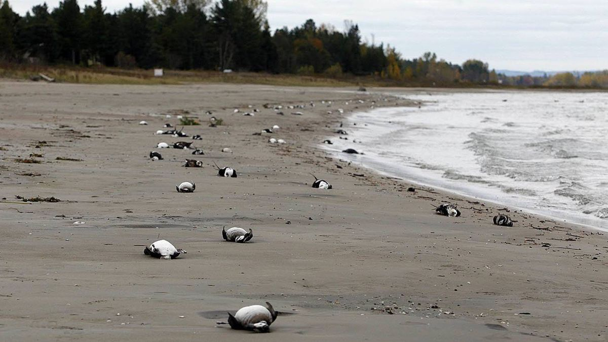 Dead birds line a portion of Allenwood Beach just outside of Wasaga Beach, Ontario Saturday Oct. 22, 2011.