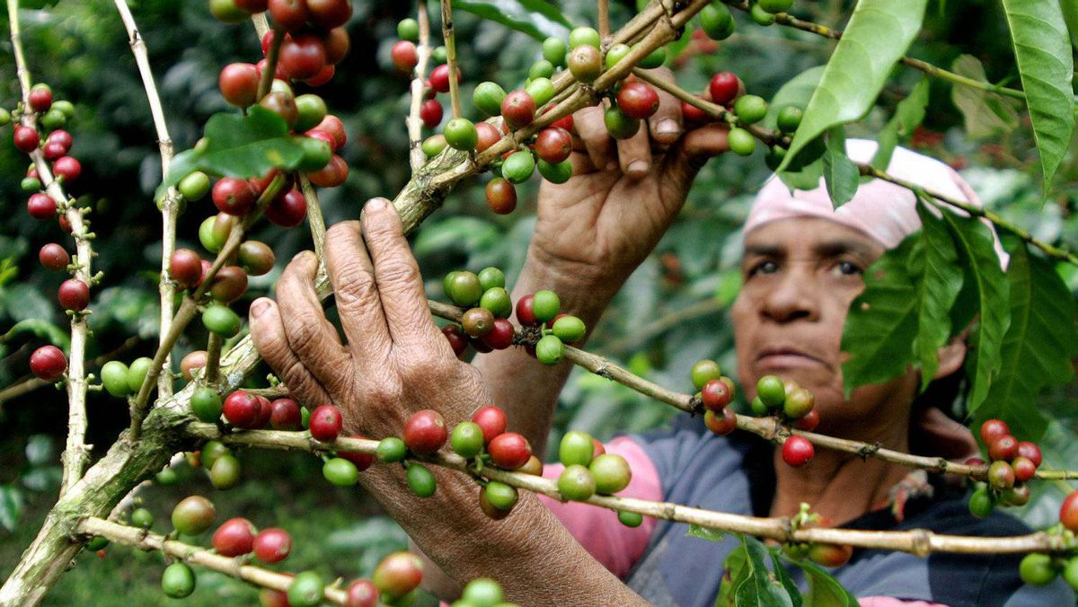 A mutant strain of one of the world's most devastating coffee diseases is attacking crops in Guatemala, putting farmers on high alert for a wider outbreak across Central America.
