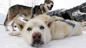 Sled dogs rest after returning from a tour run by Whistler Outdoor Adventures in the Soo Valley north of Whistler, B.C., on Monday January 31, 2011. The RCMP and the B.C. SPCA are investigating the slaughter of about 100 sled dogs in Whistler in an incident the SPCA called an absolute massacre.