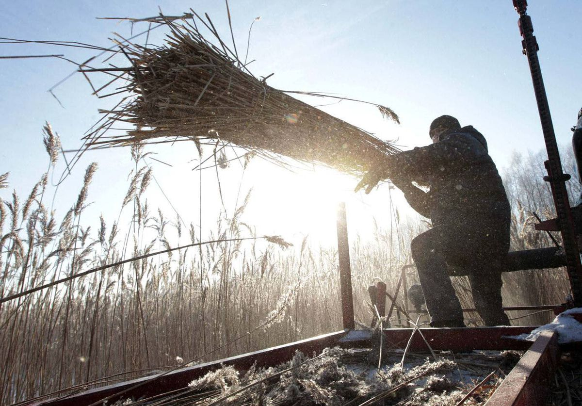 A Belarussian worker, representing the charity organization Ecodom, harvests reeds on a frozen lake near the village of Stakhovtsy.