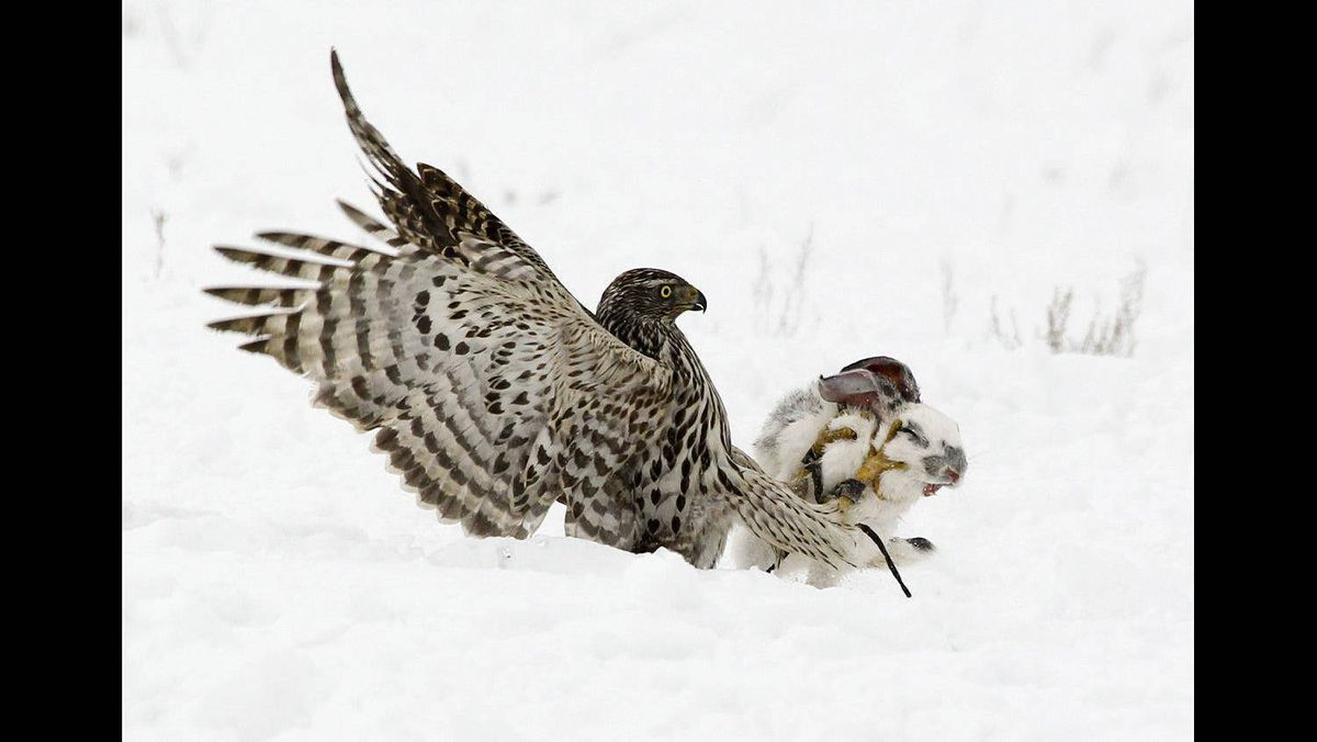 A hawk attacks a rabbit during an annual traditional hunting competition near the village of Uzynagash outside Almaty, February 12, 2011. Kazakhstan's national sport of Sayat - or hunting with birds of prey - is popular in the Central Asian state.