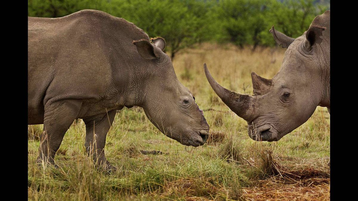 """Brent Stirton of South Africa, a Getty Images photographer working for National Geographic magazine, has won first prize Nature Stories for the """"Rhino Wars"""" series. The picture shows a female rhino in Tugela Private Game Reserve, Colenso, Natal, South Africa, November 9, 2010, that four months earlier survived a brutal dehorning by poachers who used a chainsaw to remove her horns and a large section of bone in that area of her skull. The female rhino survived the dehorning and has joined up with a male bull who now accompanies her. Rhino horn is now worth more than gold on the international market. South Africa alone has lost more than 400 rhino to illegal poaching incidents in 2011. The demand for Rhino horn is fueled by a wealthy Asian middle and upper class and used overwhelmingly as medication."""