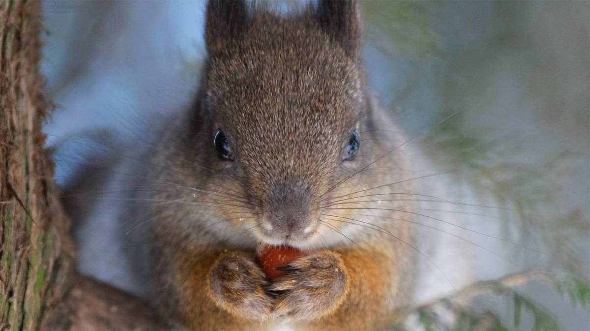 A squirrel eats a nut in central park in Minsk, Belarus, Tuesday, Jan. 17, 2012.