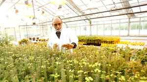 Dr. Lada examines balsam fir samples in his research greenhouse.