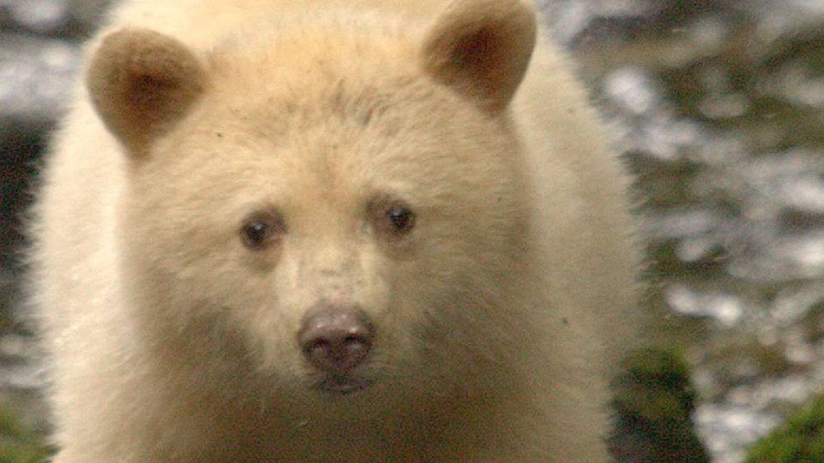 The Great Bear Rainforest is best known for the so-called Spirit Bears - black bears with white fur