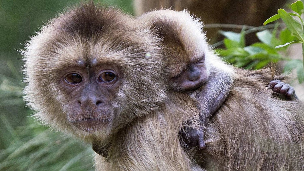 Weeper capuchin monkeys