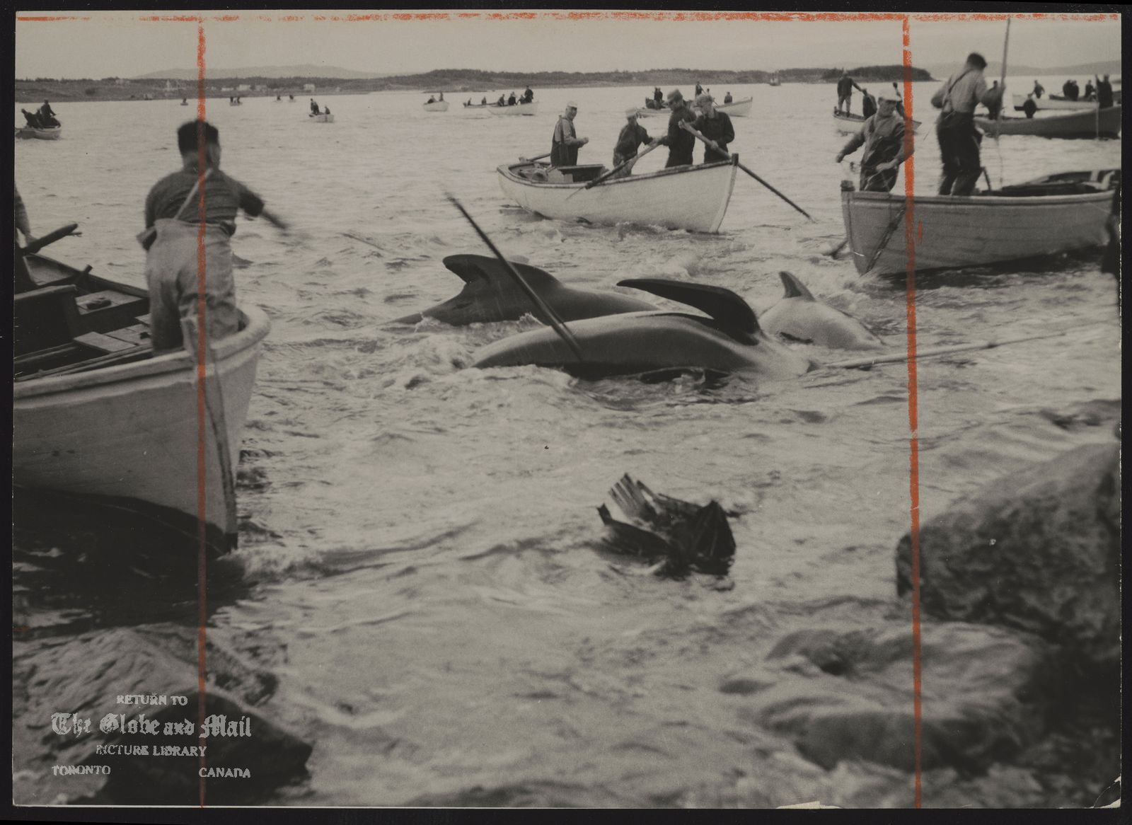 WHALING Harpoon posed, boy waits to strike at whale. 5,000 are slaughtered annually for supply food for Newfoundland's major mink farms.