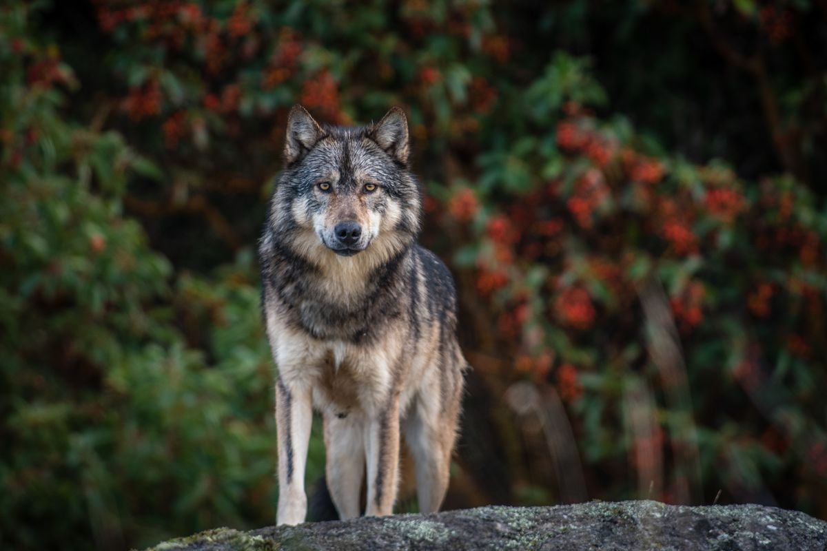 An uncertain ending for Victoria's lone wolf