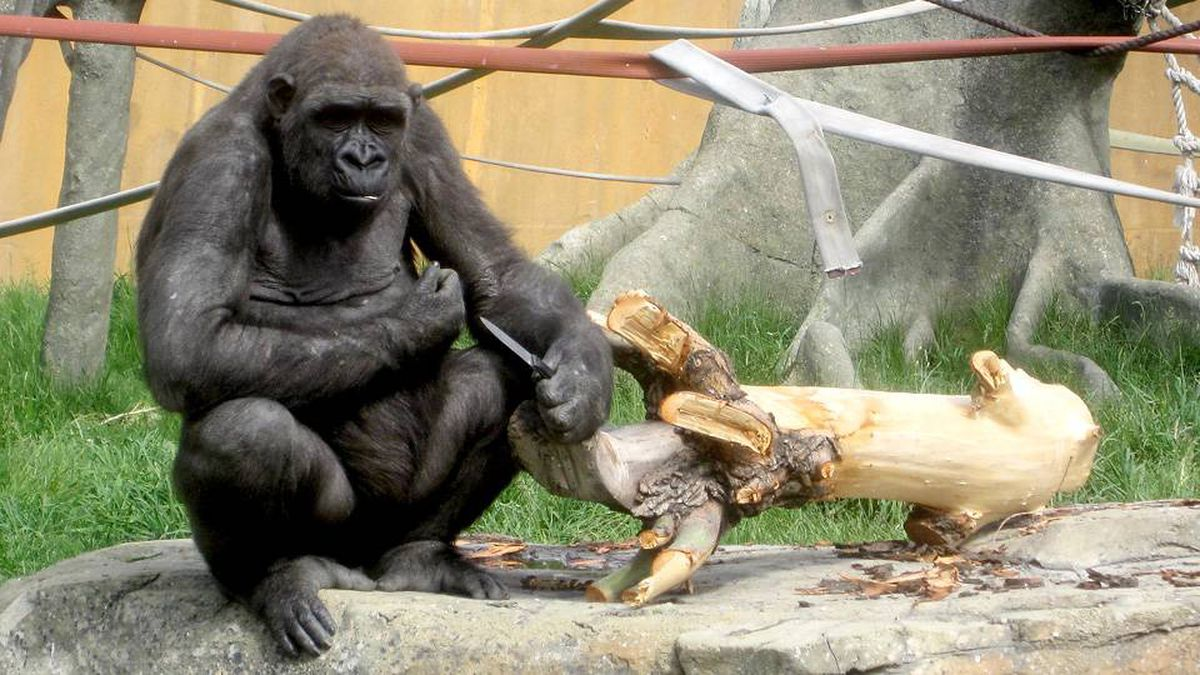 Barika a female gorilla at Calgary Zoo holds a knife accidently dropped in her enclosure by a keeper.