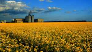 Given all its economic spinoffs, such as transportation and processing, canola is a $15.4-billion industry in Canada.