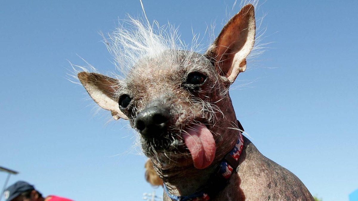 Archie, a Chinese Crested, is seen here prior to winning World's Ugliest Dog competition at the Sonoma-Marin Fair in Petaluma, Calif. in 2006.
