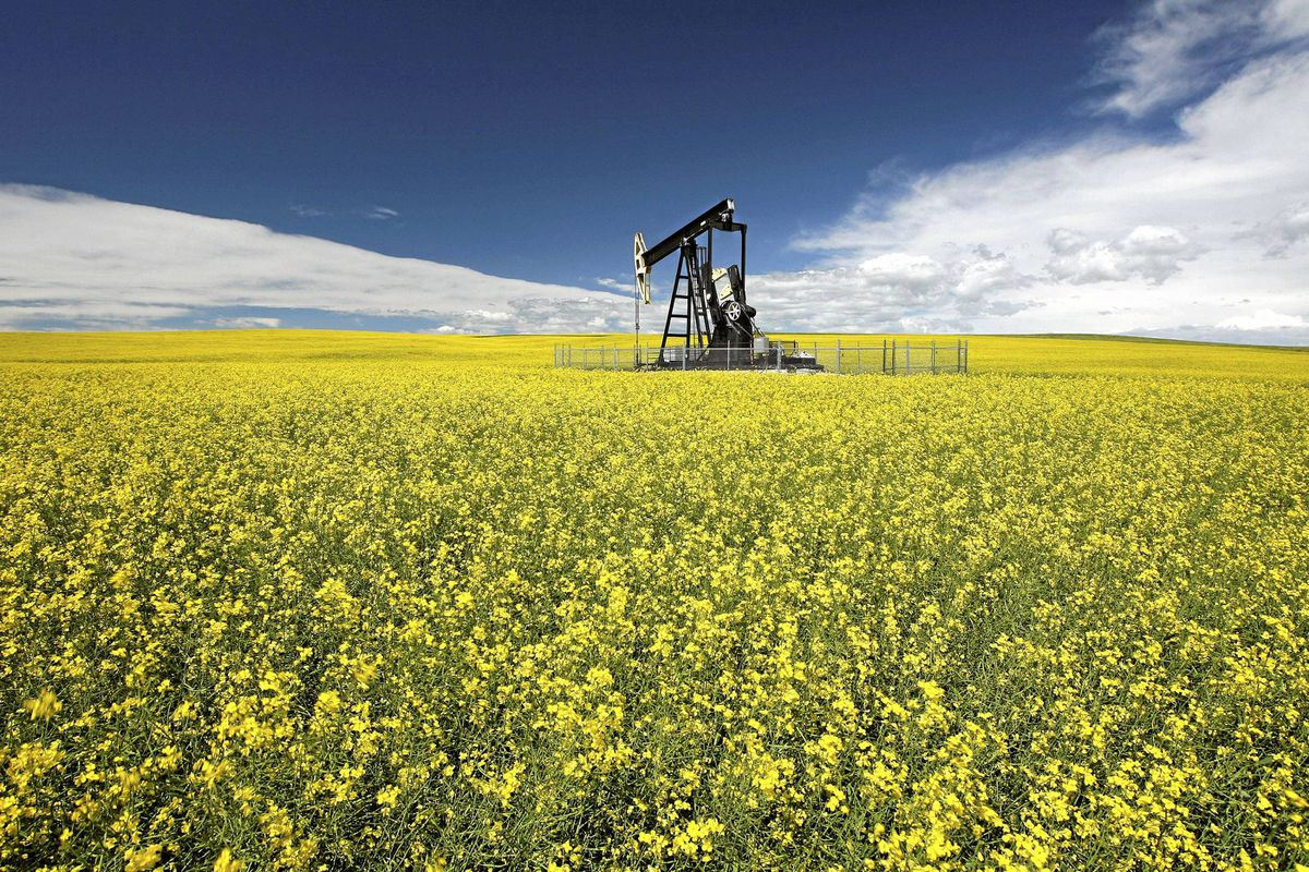 A canola field: In Canada, farmers are expected to plant a record canola crop.