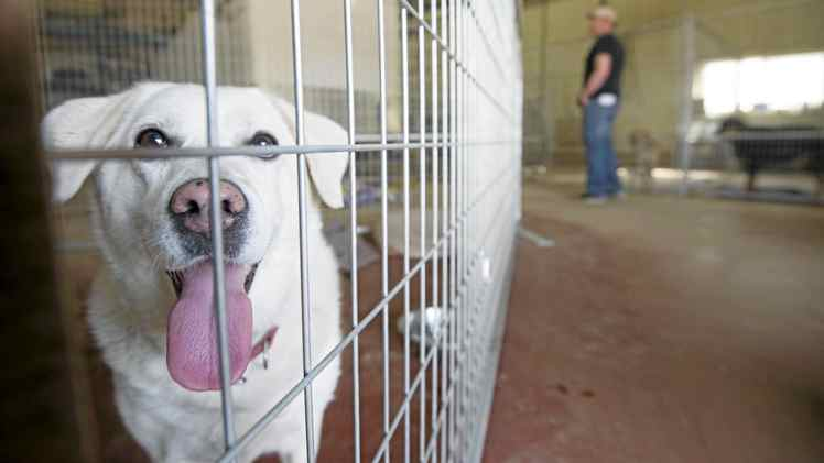 A dog is shown at a makeshift animal shelter in Slave Lake, Alta., Wednesday, May 18, 2011. Almost all of Slave Lakes's 7,000 residents fled Sunday in the face of a forest fire that eventually destroyed about a third of the town. THE CANADIAN PRESS/Ian Jackson
