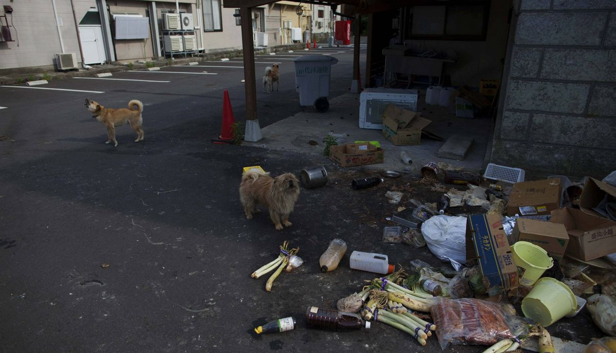 Abandoned pet dogs stand in a parking lot in the abandoned town of Namie, inside the 20-kilometer exclusion zone around the Fukushima Daiichi nuclear plant June 19, 2011. A year after the Tsunami, cleanup has begun, but experts say areas inside the nuclear exclusion zone will be difficult to decontaminate.