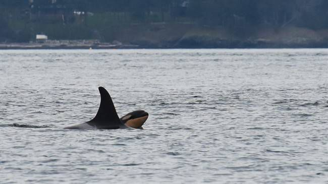 Another adult Southern resident killer whale and her calf found in poor health off B.C. coast