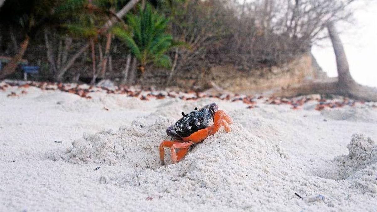 Halloween crabs signall the coming rainy season in Costa Rica.