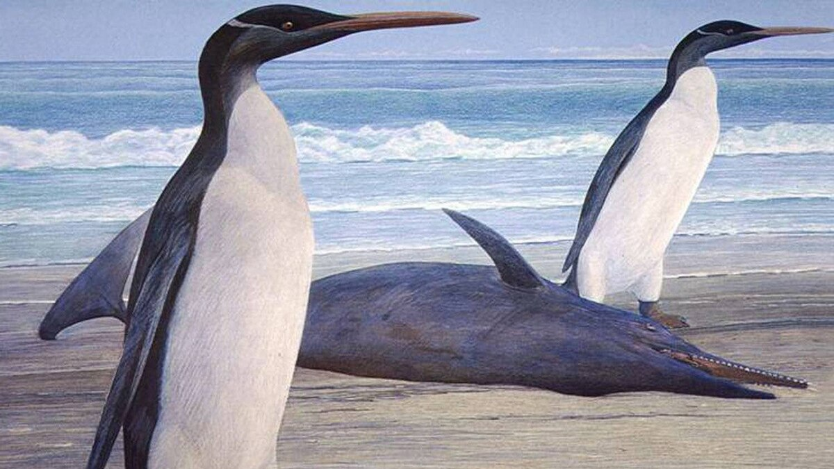 This undated graphic illustration released by University of Otago on Wednesday, Feb. 29, 2012 shows a giant penguin called a Kairuku. It's taken 26 million years, but scientists say getting the first glimpse at what a long-extinct giant penguin looked like was worth the wait.