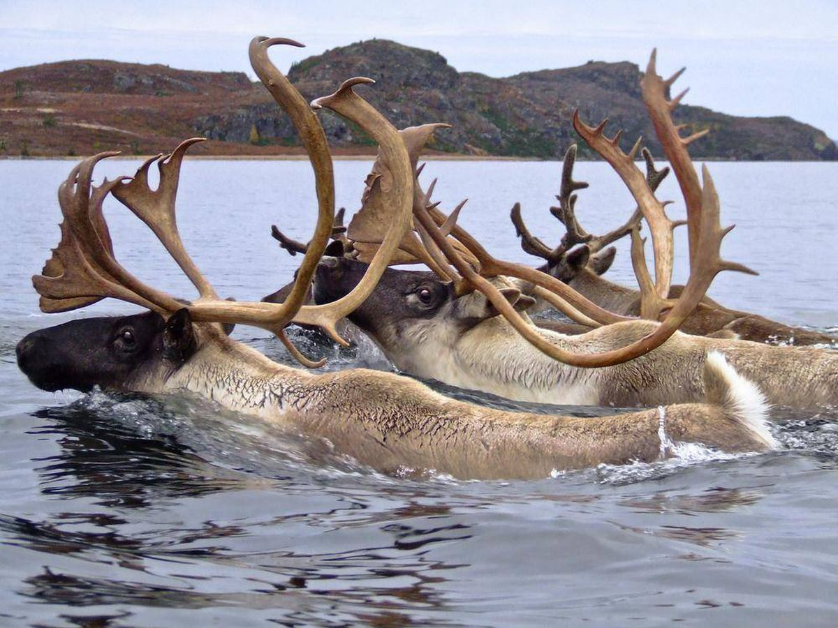 Inuit Make Hard Choice To Extend Ban On Caribou Hunt