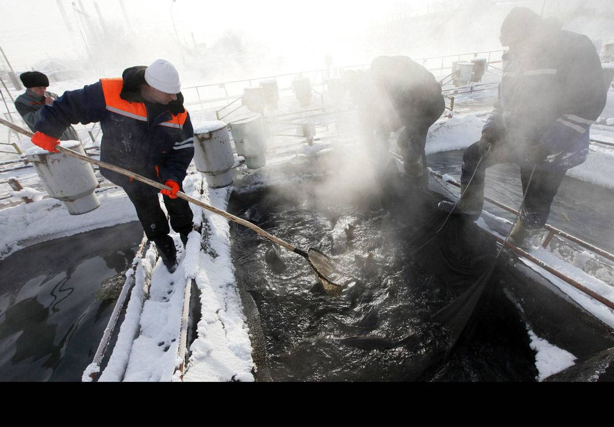 Employees lift Japanese carps, called Koi, at a fish farm, with the air temperature at about minus 22 degrees Celsius near the Nazarovo electric power plant, some 200 km west of Russia's Siberian city of Krasnoyarsk. The lake doesn't freeze in winter because of the a power station nearby which keeps water at about 12 degrees Celsius.