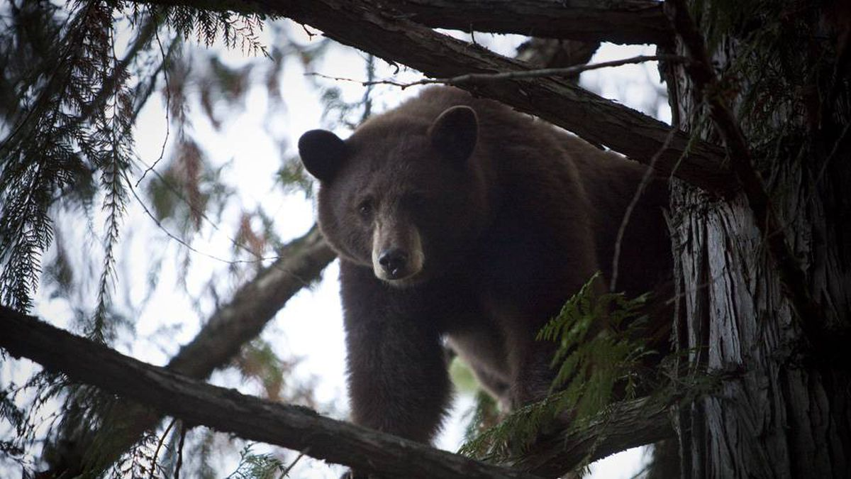 A brown bear is chased high up a tree by one of Kim Robinson's hunting dogs near Merritt, B.C., on Sept. 17, 2009.