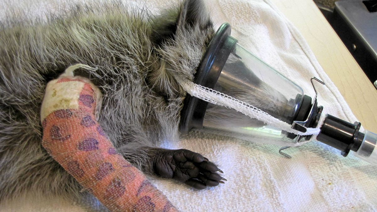 The raccoon injured last week sports a cast at the Procyon Wildlife Rehab Centre.