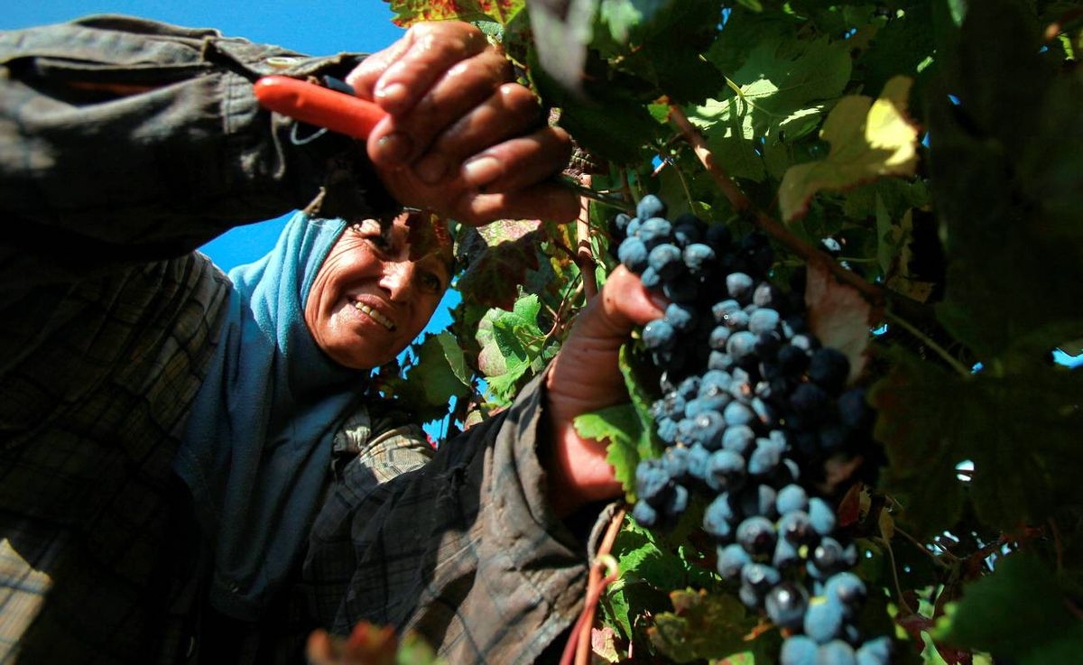 Kosher Wineries Bring In The Harvest