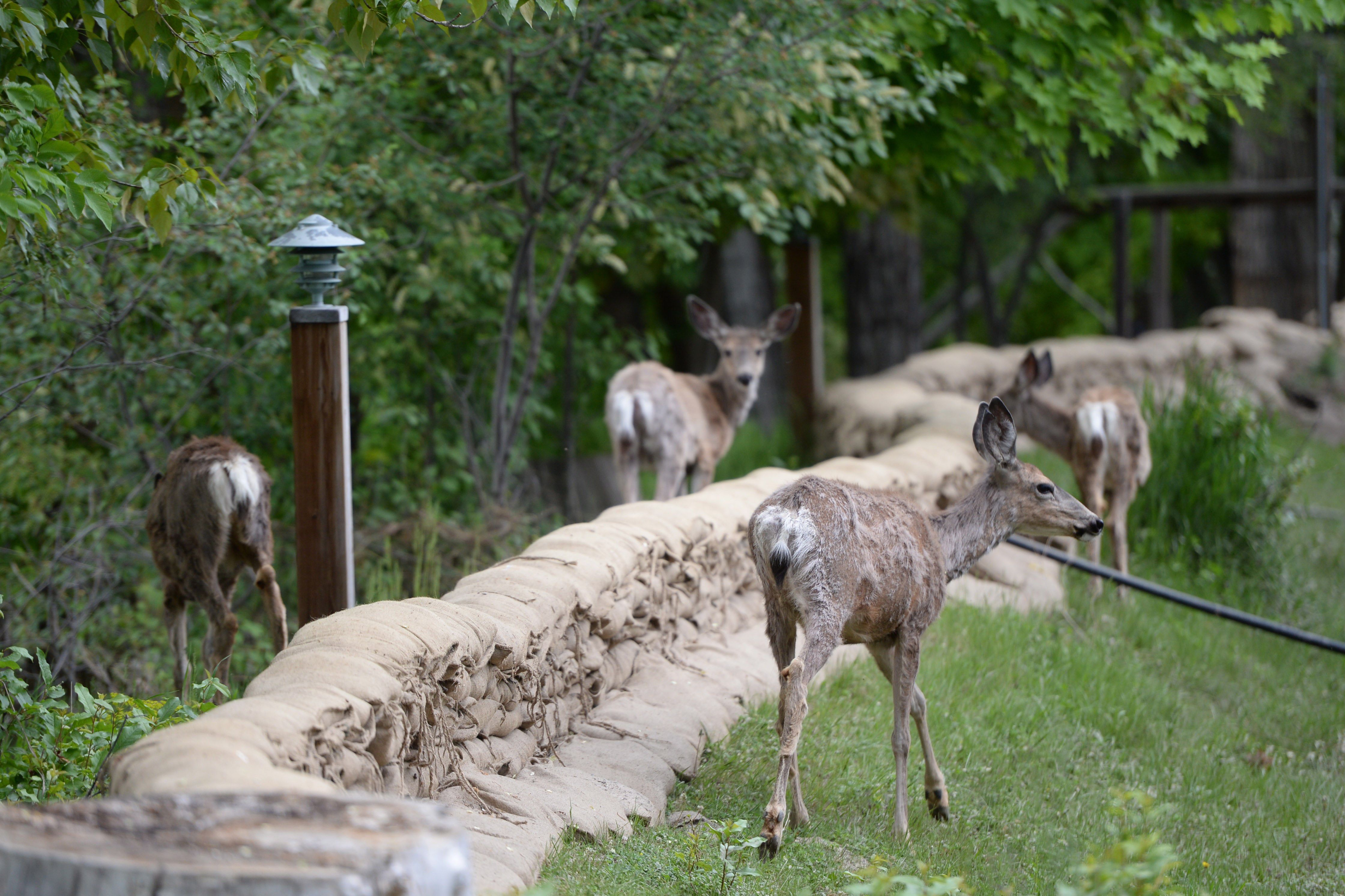 Homeowners asked to help Victoria's plan to use contraceptives on urban deer