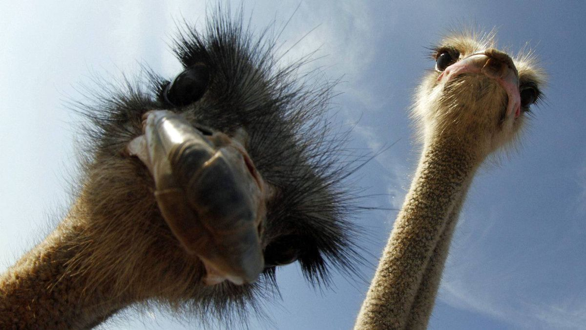 Ostriches strut for the camera at a farm outside the village of Campos, on the Spanish island of Mallorca, on Oct. 16, 2011.