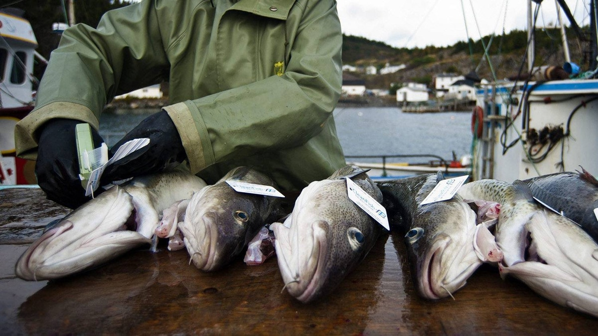 Cornelia Seward, of Goose berry Cove, Newfoundland - near one the highest regions of unemployment in the country - tags fish from the Goose Berry Cove Cod fish farm as its prepared for shipment to market.