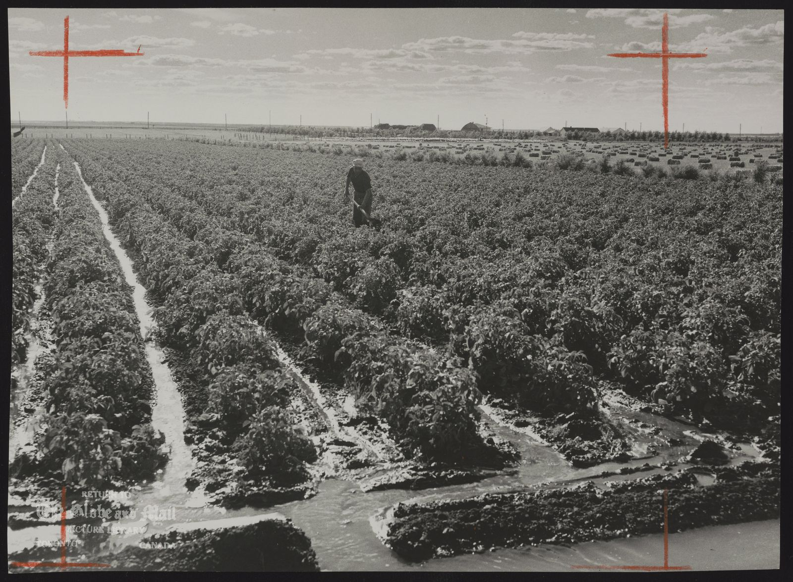 Irrigation by the ditch and lateral method of a crop of potatoes on the Pre-Development Farm. July 1953 [PFRA - Prairie Farm Rehabilitation Administration. The farm was desgined to demonstrate irrigation technology to assist farmers in their transition to irrigated agriculture. The farm was in operation from 1949 to 1986]