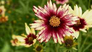 Coreopsis 'Red Shift' Tickseed