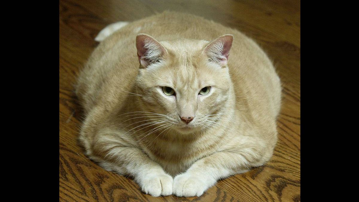 This is Delaware, another tubby tabby, who was featured in The Globe and Mail back in 2001. At the time, his owner Jodi Haydon said he weighed 24 pounds (10.9 kilograms).