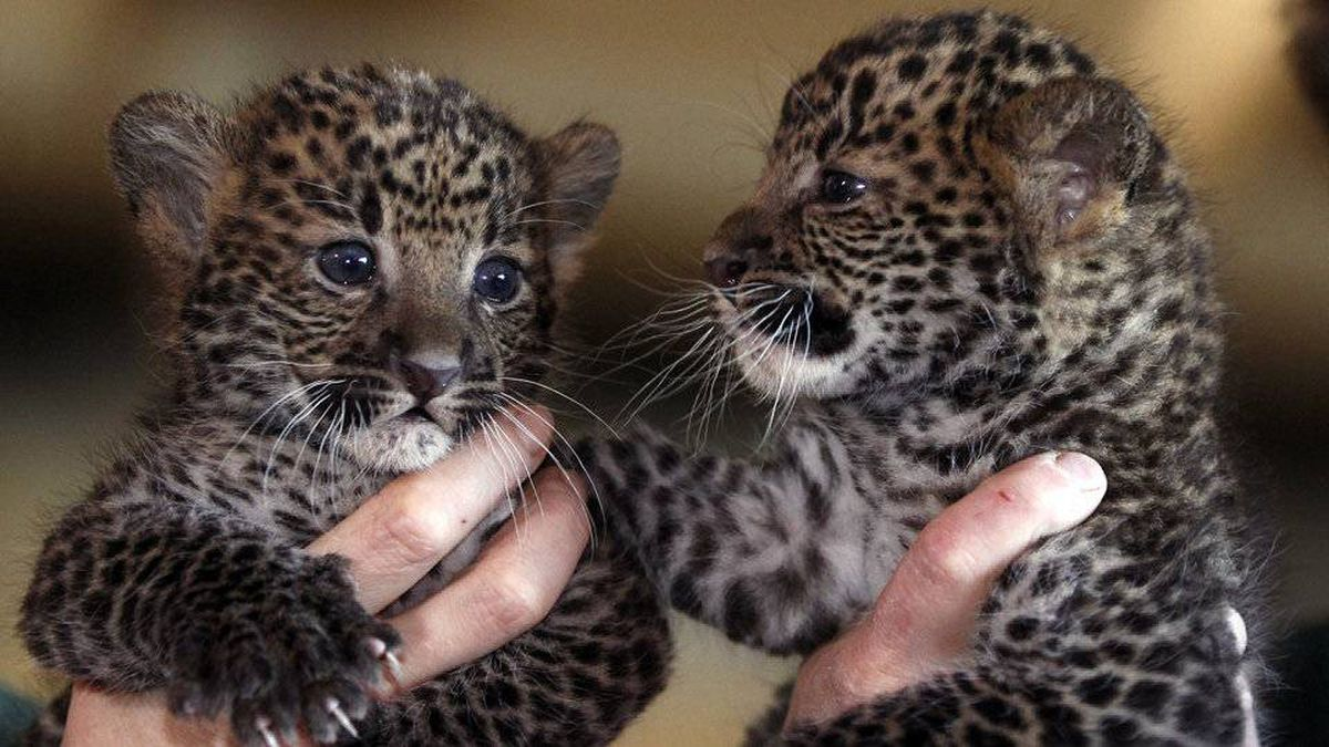 Seven-week-old leopard cubs are the centre of attention during their official presentation at the Tierpark Zoo in Berlin, Germany, Monday, March 5, 2012.